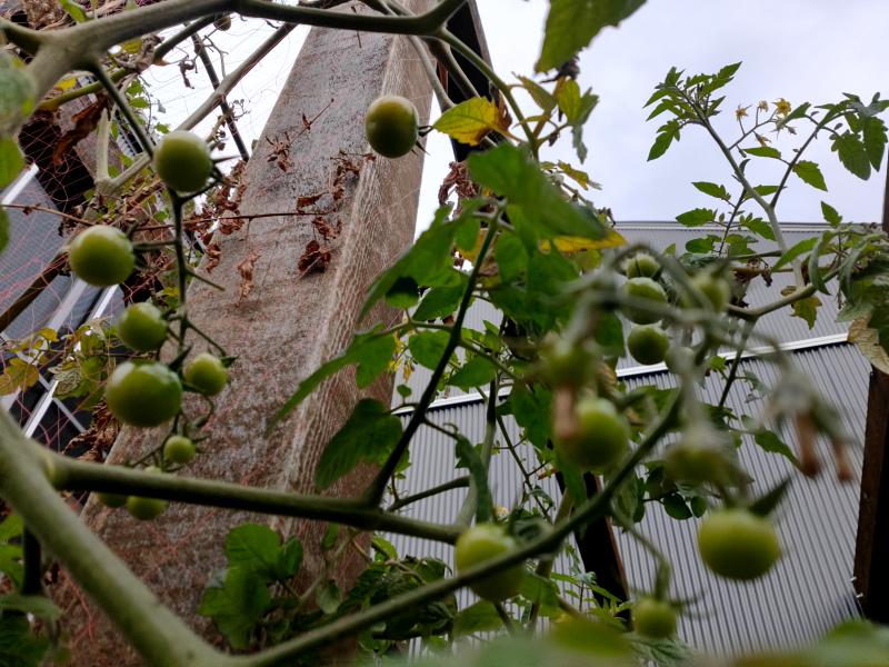 冬のトマト